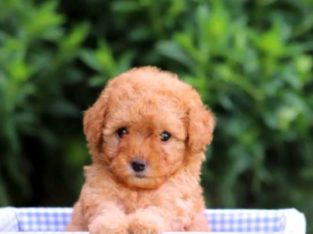 Cookie Female Toy Poodle Puppy