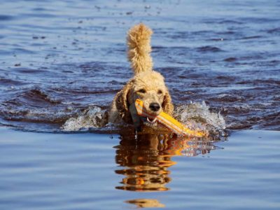 Do Poodles Like Water?
