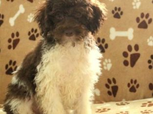 North Male Miniature Poodle Puppy
