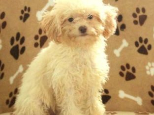 Snowflake Female Toy Poodle Puppy