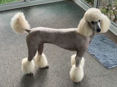 Shaved Poodle, Is It Necessary?