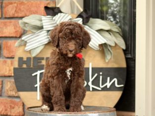 Cayanne Female Standard Poodle Puppy