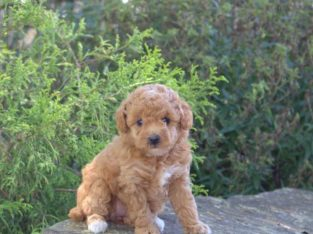 Cookie Female Miniature Poodle Puppy