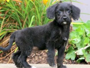 Daryl Miniature Poodle Mix Puppy