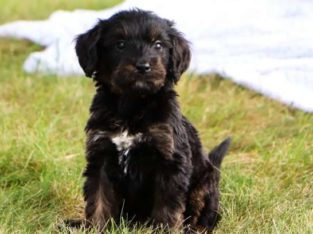 Grant Male Bernedoodle Puppy