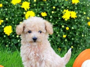 Harley Male Toy Poodle Puppy
