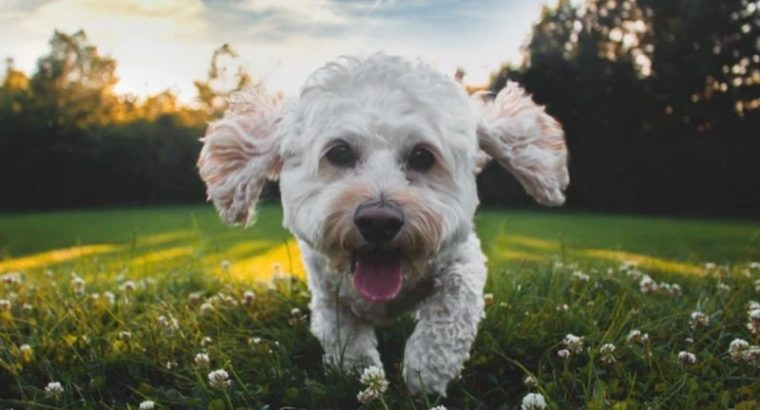 How to Clean Poodle Ears
