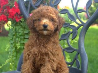 Kashew Male Toy Poodle Puppy