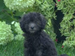 Marshall Male Toy Poodle Puppy