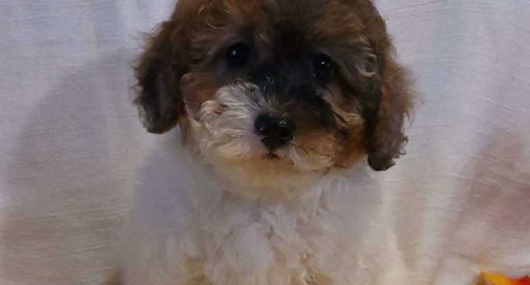 May Female Miniature Poodle Puppy