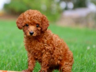 Mitzy Female Toy Poodle Puppy