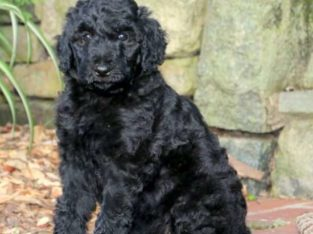 Molly Female Standard Poodle Puppy