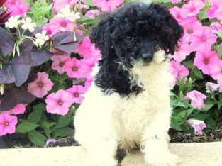 Muffy Male Toy Poodle Puppy