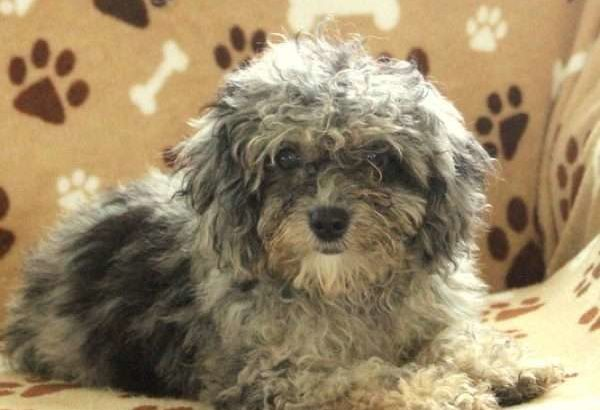 Nelly Female Miniature Poodle Puppy