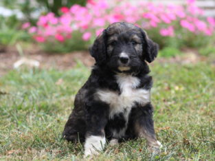 Peter Male Bernedoodle Puppy