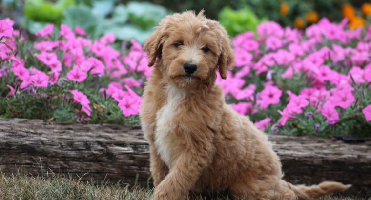 Best Poodle Mix for Allergies