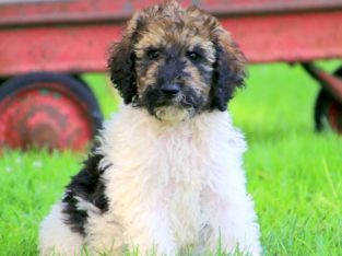 Star Male Standard Poodle Puppy