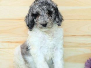 Sunflower Female Standard Poodle Puppy