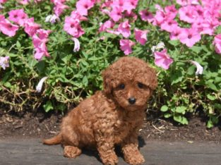 Tilly Femnale Toy Poodle Puppy
