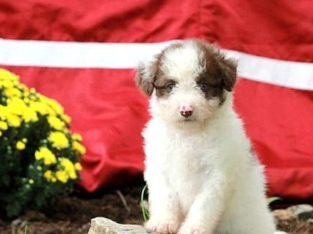 Whit Male Miniature Poodle Mix Puppy