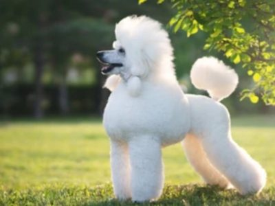 Poodle Colors, Everything You Need to Know
