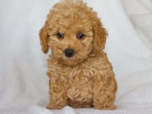 Abby Female Toy Poodle Puppy