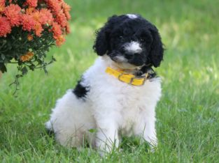 Aden Male Standard Poodle Puppy