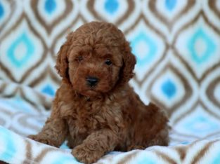 Andy Male Toy Poodle Puppy
