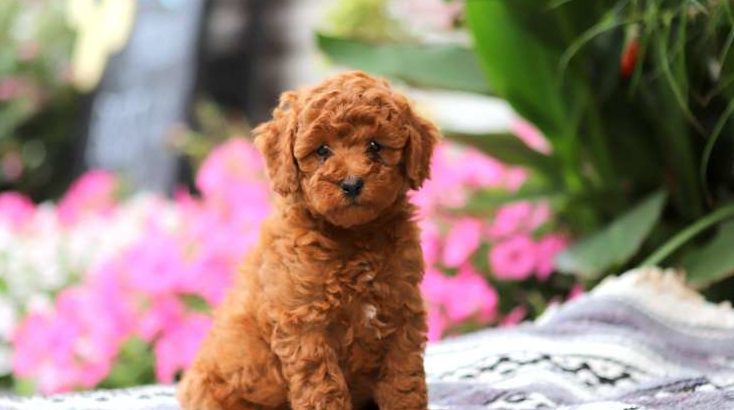 Buster Male Miniature Poodle Puppy