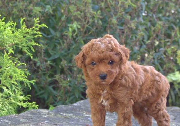 Charlie Male Miniature Poodle Puppy