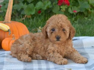 Fiona Female Toy Poodle Puppy