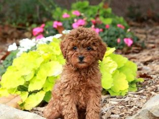 James Toy Poodle Puppy