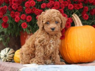 Opal Toy Poodle Puppy