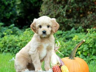 Pearl Miniature Poodle Mix Puppy