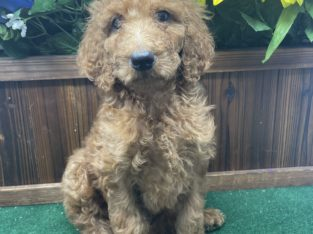 Peter Standard Poodle Puppy