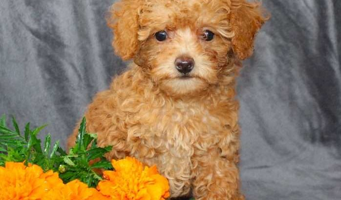 Robin Female Toy Poodle Puppy