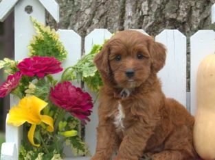 Wilber Male Miniature Poodle Mix Puppy